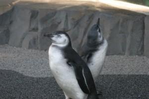 Así lucen los bebés pingüinos, con plumas que serán reemplazadas por otras que son resistentes al agua.