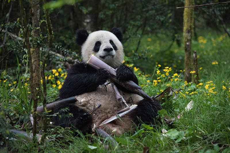 Documental pandas